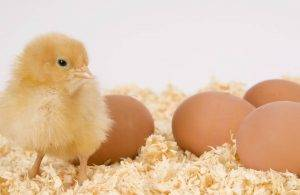 Poultry bedding in Derbyshire