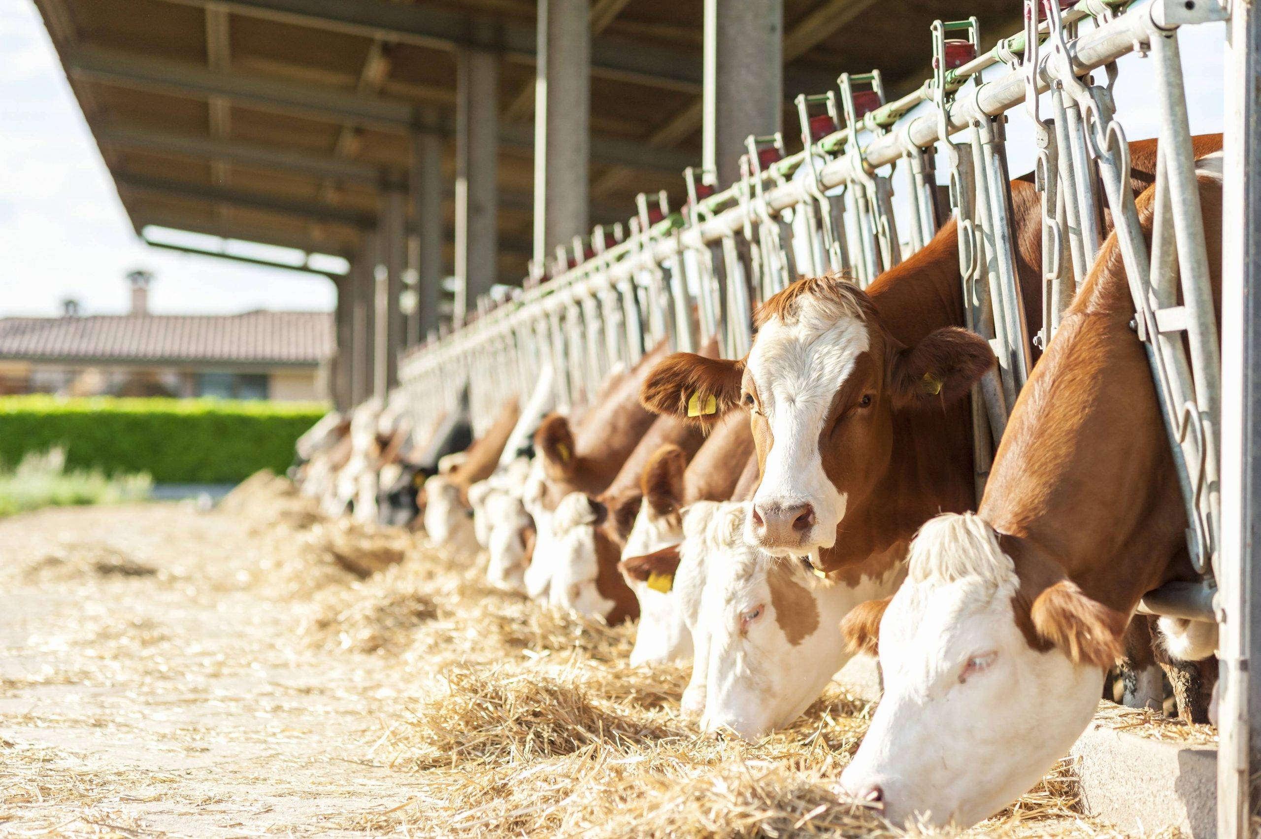 Cattle Care and Cubicle Bedding in Cheshire