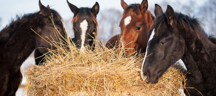 Can I feed my horse hay in the summer?
